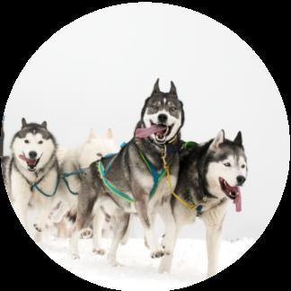 Schlittenhunde-/Zughundesport